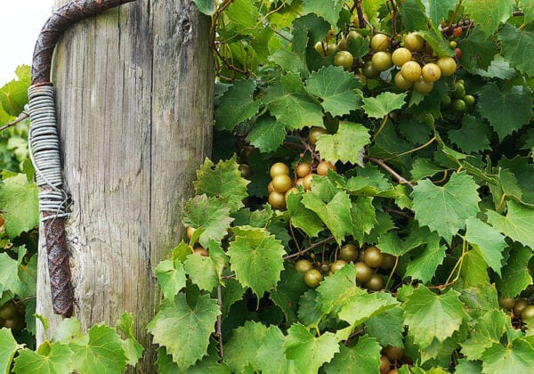 Muscadine Wine at Florida Vineyards Terroir and History