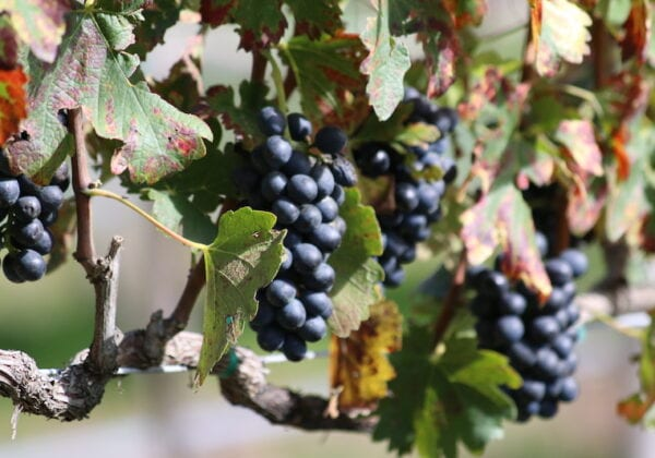 Mexcian wine Grapevines
