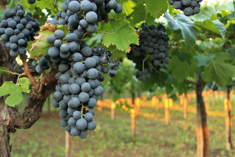Getting to know the Montepulciano grape and its wines
