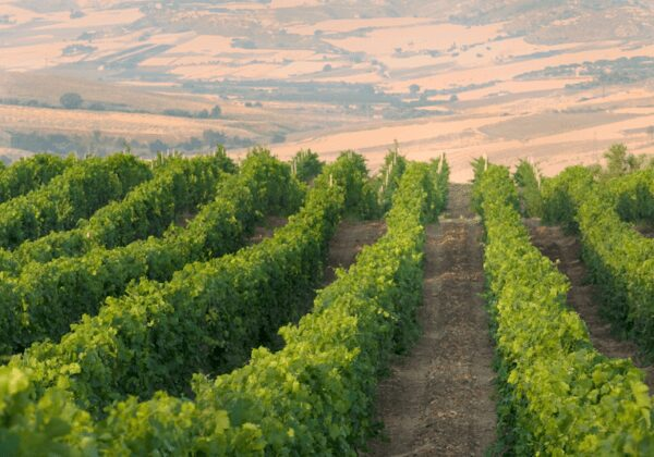 Getting to know the nero d avola grape and its wines